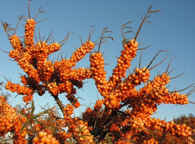 The superfood Sea Buckthorn, which was made famous by a top Danish chef