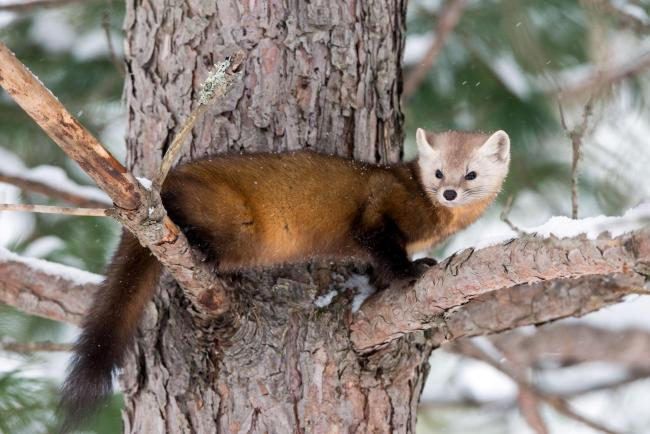 Weasels often get bad press ... but is it deserved?